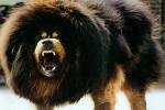 Ngao Tây Tạng: Loài chó trung thành bậc nhất nhưng có bản tính hung dữ