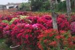 Ảnh: Rực rỡ hoa Tết trên đất 'thép' Củ Chi