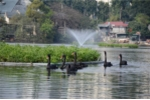 Đàn thiên nga ở hồ Thiền Quang được bảo vệ thế nào?