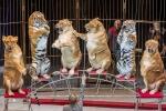 Clip: Hổ, sư tử béo núc ních bị ép diễn xiếc ở Nga khiến dư luận phẫn nộ