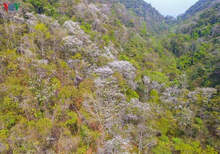 Ngây ngất mùa hoa ban nở ở Điện Biên - 1