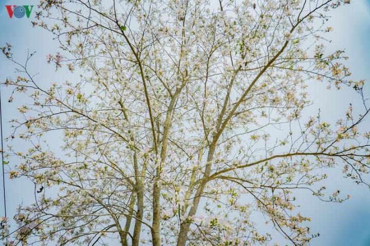 Ngây ngất mùa hoa ban nở ở Điện Biên - 14
