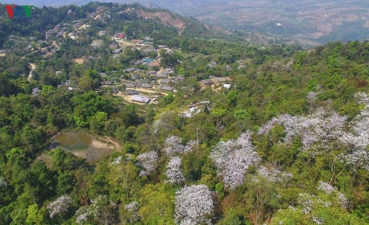 Ngây ngất mùa hoa ban nở ở Điện Biên - 2