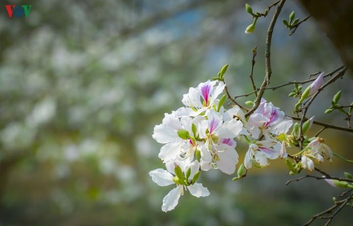 Ngây ngất mùa hoa ban nở ở Điện Biên - 4
