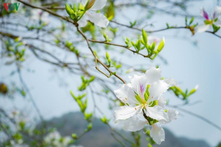 Ngây ngất mùa hoa ban nở ở Điện Biên - 7