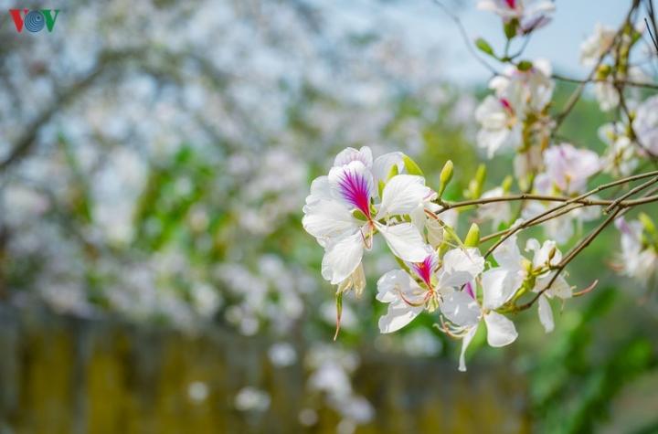 Ngây ngất mùa hoa ban nở ở Điện Biên - 8