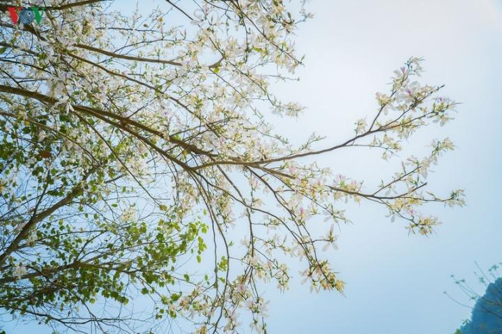 Ngây ngất mùa hoa ban nở ở Điện Biên - 9