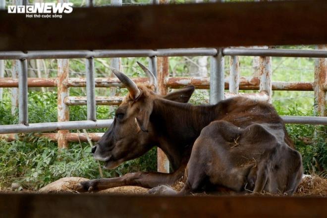 Đàn bò tót lai bị bỏ đói, gầy trơ xương ở Ninh Thuận giờ thế nào? - 4