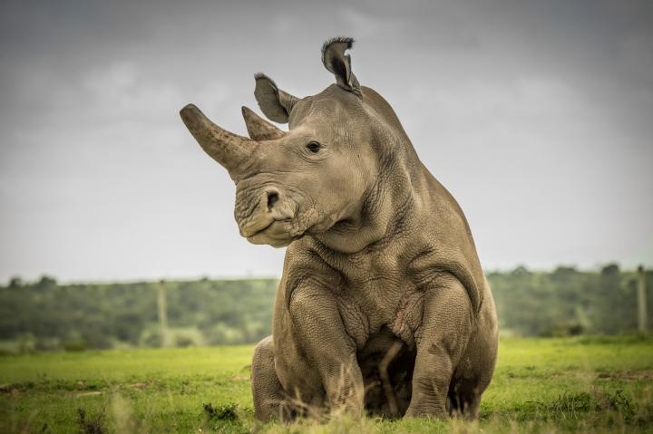 Tê giác trắng đực cuối cùng: Những hình ảnh cảm động trước lúc Sudan qua đời - 3