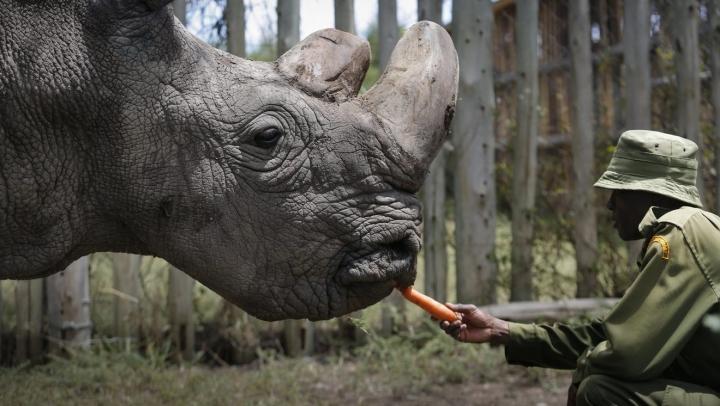 Tê giác trắng đực cuối cùng: Những hình ảnh cảm động trước lúc Sudan qua đời - 2