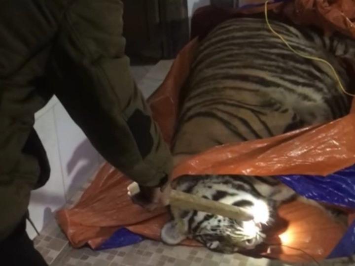 Hổ nặng 250kg nằm bất động trong nhà: Chủ nhà khai gì?