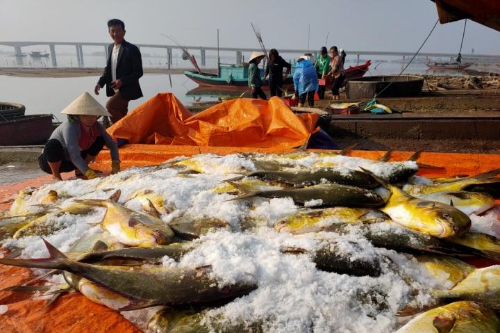 Trúng đậm mẻ cá chim vàng, ngư dân Hà Tĩnh một ngày thu 600 triệu đồng - 1