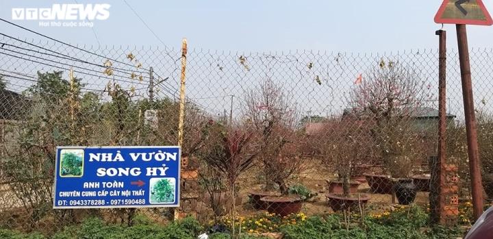 Chạy đua với COVID-19, chủ vườn Nhật Tân tranh thủ 'xả' đào Tết - 6