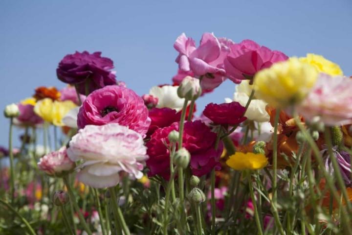 'Bật mí' bất ngờ về ý nghĩa của các loài hoa - 12