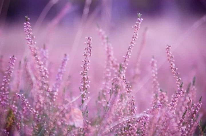 'Bật mí' bất ngờ về ý nghĩa của các loài hoa - 14