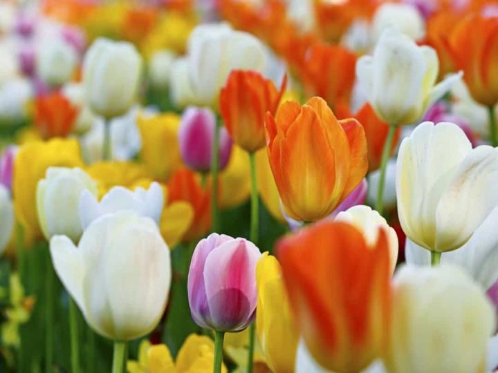 'Bật mí' bất ngờ về ý nghĩa của các loài hoa - 3