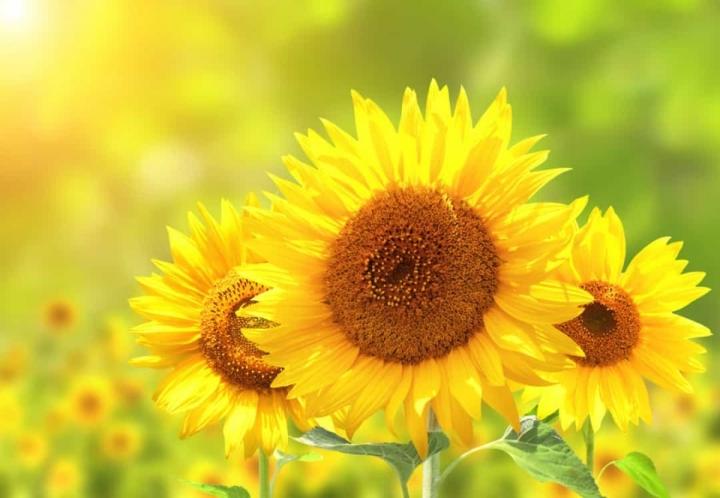 'Bật mí' bất ngờ về ý nghĩa của các loài hoa - 4