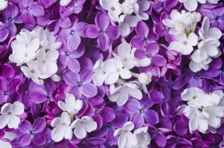 'Bật mí' bất ngờ về ý nghĩa của các loài hoa - 9