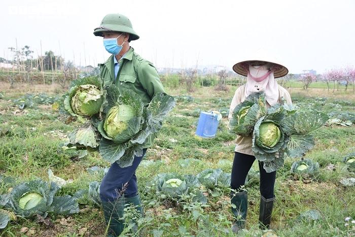 Xót xa nông sản không bán được, bị vứt bỏ đầy đồng ở Hải Dương - 8