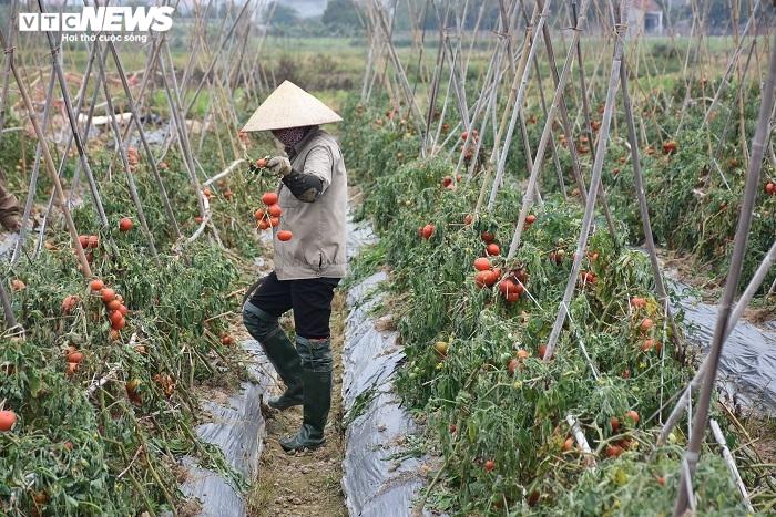 Xót xa nông sản không bán được, bị vứt bỏ đầy đồng ở Hải Dương - 6