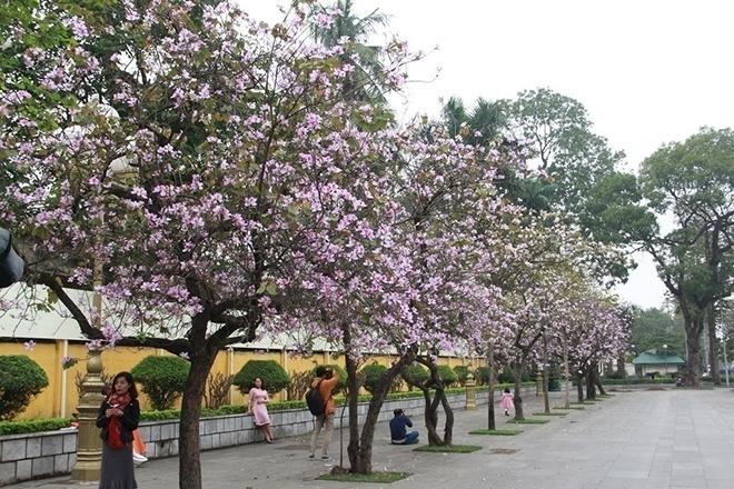 Nên chăng cho người dân nghỉ 1 ngày để ngắm hoa ban nở? - 2