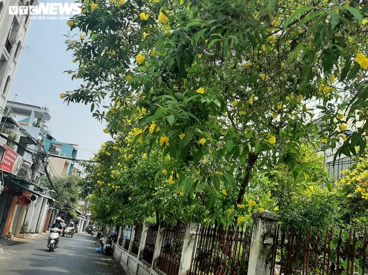 Ảnh: Hoa huỳnh liên vàng rực dưới nắng Sài Gòn - 4