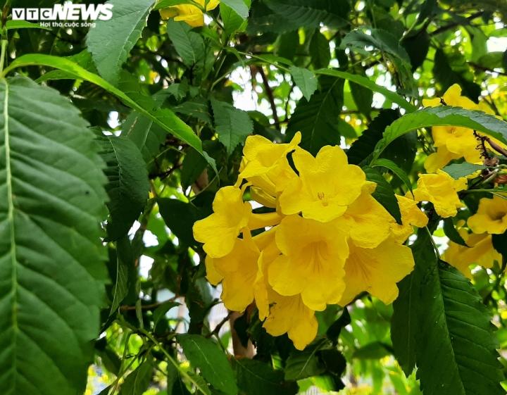Ảnh: Hoa huỳnh liên vàng rực dưới nắng Sài Gòn - 5