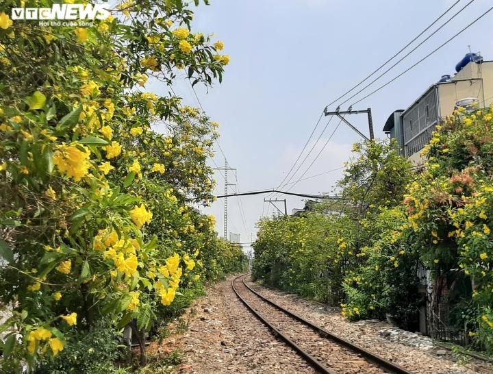 Ảnh: Hoa huỳnh liên vàng rực dưới nắng Sài Gòn - 1