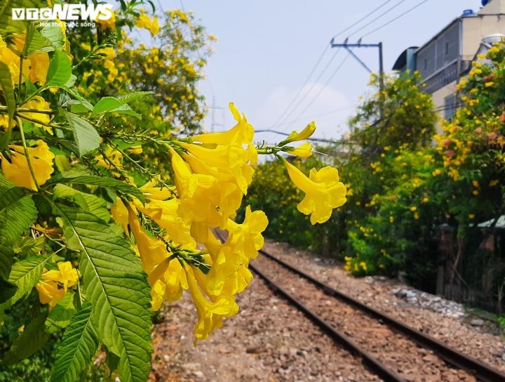 Ảnh: Hoa huỳnh liên vàng rực dưới nắng Sài Gòn - 3