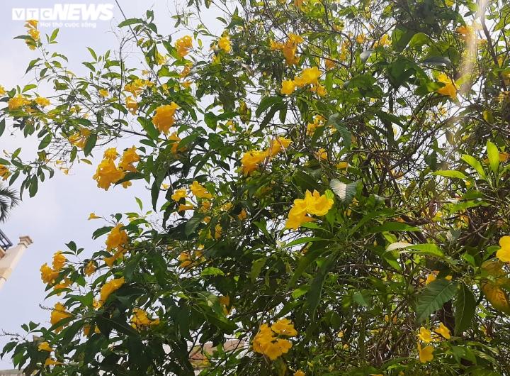 Ảnh: Hoa huỳnh liên vàng rực dưới nắng Sài Gòn - 7