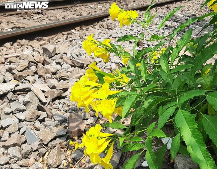 Ảnh: Hoa huỳnh liên vàng rực dưới nắng Sài Gòn - 8