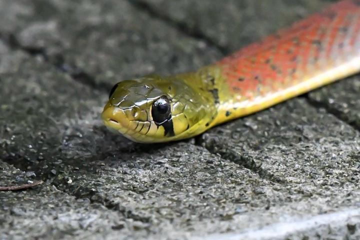 Loài rắn có thể khiến nạn nhân chảy máu không ngừng đến chết