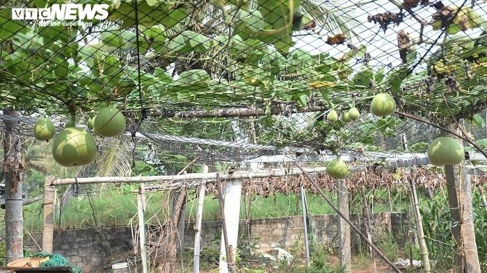 Ảnh: Về huyện đảo ở Hải Phòng chiêm ngưỡng giống bầu khổng lồ nặng tới 15kg - 7