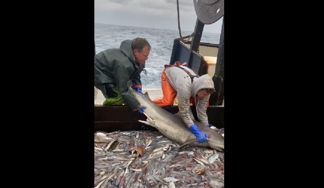 Cá mập lì lợm, cố sống cố chết bám thuyền khi được ngư dân thả về biển