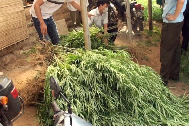 Lời khai của doanh nhân Pháp trồng 115 cây cần sa ở bãi sông Hồng - 1