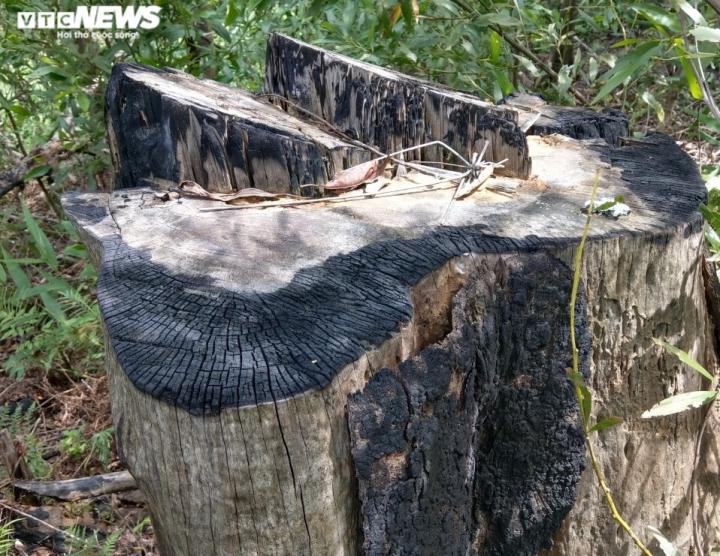 Đất rừng tự nhiên ở Thừa Thiên – Huế bị 'hô biến' thành đất trồng keo thế nào? - 3