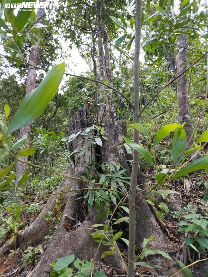 Đất rừng tự nhiên ở Thừa Thiên – Huế bị 'hô biến' thành đất trồng keo thế nào? - 2