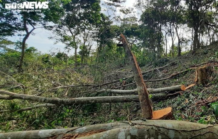 Cận cảnh rừng ở Quảng Nam bị triệt hạ, lấy đất trồng keo - 1