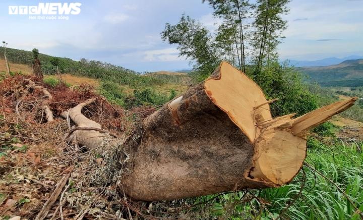 Cận cảnh rừng ở Quảng Nam bị triệt hạ, lấy đất trồng keo - 3