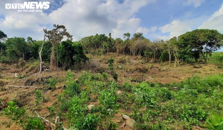 Cận cảnh rừng ở Quảng Nam bị triệt hạ, lấy đất trồng keo - 7