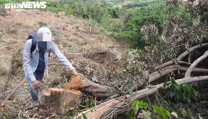 Cận cảnh rừng ở Quảng Nam bị triệt hạ, lấy đất trồng keo - 2