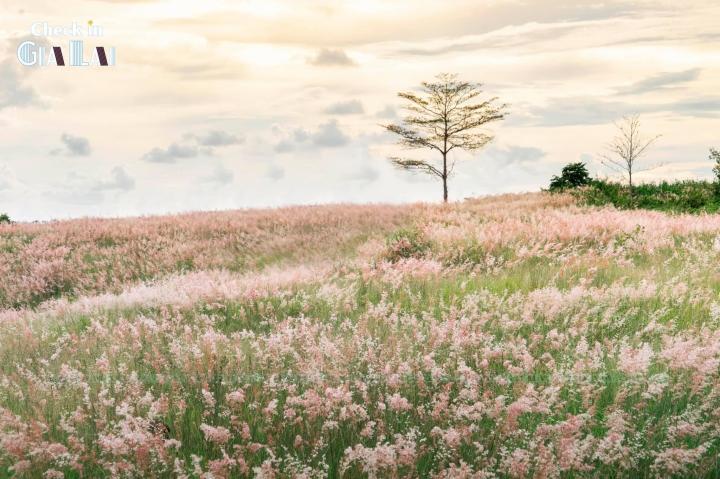 Đồi cỏ hồng đẹp mơ màng nằm giữa núi rừng Gia Lai hút hồn du khách - 1