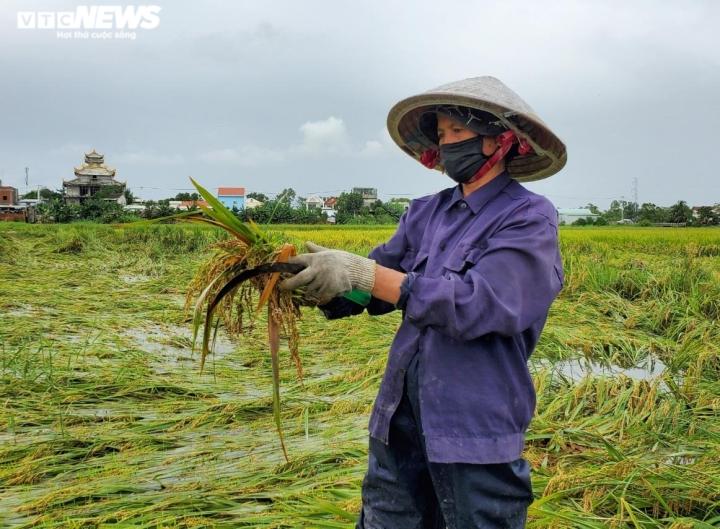 Nông dân Đà Nẵng rớt nước mắt nhìn lúa nảy mầm trắng ruộng - 2