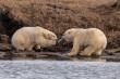Bức ảnh gấu Bắc Cực giành nhau hộp rác nhựa khiến nhiều người giật mình