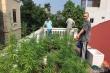 Nam thanh niên Hà Nội trồng vườn cần sa trên nóc nhà để ngâm rượu
