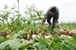 Không có chuyện người dân Mê Linh cần giải cứu nông sản