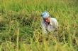 Bộ Nông nghiệp và Phát triển nông thôn kiến nghị tiếp tục xuất khẩu gạo nếp