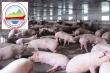 Cổ phiếu doanh nghiệp nuôi lợn tăng như 'diều gặp gió'