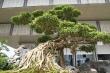 Video: Chiêm ngưỡng bộ đôi cây sanh cổ trăm năm, giá chục tỷ đồng ở Hà Nội