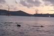 Video: Cảnh tượng hiếm gặp, đàn cá heo tung tăng bơi lội trên biển Nha Trang